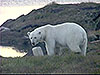 Polar bear photo, link to video page